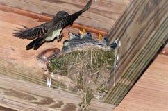 Uccello della madre che vola al nido per alimentare i giovani Immagine Stock Libera da Diritti