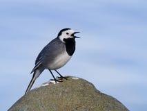 Uccello della motacilla di canto su una pietra Fotografie Stock
