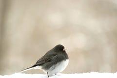 Uccello della neve Fotografie Stock Libere da Diritti