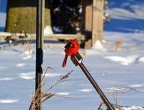 Uccello della neve Immagini Stock Libere da Diritti