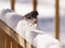 Uccello della neve Immagini Stock