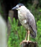Uccello della palude Nycticorax nycticorax fotografie stock libere da diritti