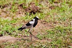 Uccello della pavoncella del fabbro Fotografia Stock