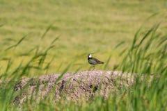 Uccello della pavoncella un giorno brillante fotografia stock libera da diritti