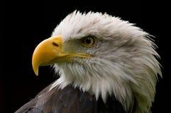 Uccello della preda fotografia stock