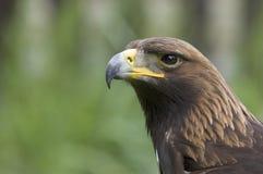 Uccello della preda attento Fotografie Stock Libere da Diritti