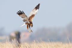Uccello della preda durante il volo Fotografie Stock Libere da Diritti