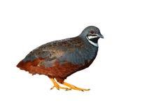 Uccello della quaglia di re Immagine Stock