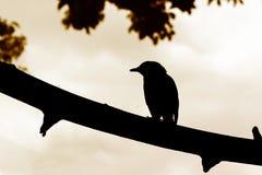 Uccello della siluetta sul ramo Fotografia Stock
