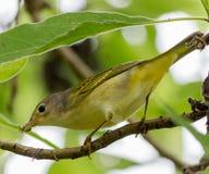 Uccello della silvia gialla Fotografia Stock Libera da Diritti