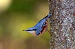 Uccello della sitta che si siede sull'albero (europaea del sitta) Fotografia Stock