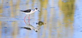 Uccello della specie del himantopus Fotografie Stock Libere da Diritti