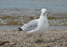 Uccello della spiaggia Fotografia Stock