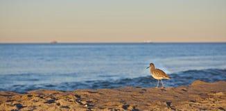 Uccello della spiaggia Fotografie Stock Libere da Diritti