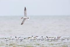 Uccello della sterna maggiore immagini stock libere da diritti