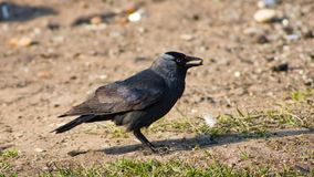 Uccello della taccola, monedula di corvo su terra con il seme in becco, fuoco selettivo, DOF basso fotografia stock