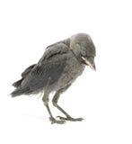 Uccello della taccola su un fondo bianco Fotografie Stock Libere da Diritti