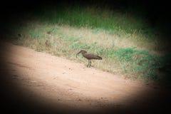 Uccello della testa di martello con la rana Immagine Stock Libera da Diritti
