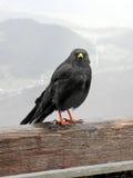 Uccello delle alte montagne vicino a Kehlsteinhaus, 1, alpi tedesche Fotografie Stock Libere da Diritti