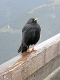 Uccello delle alte montagne vicino a Kehlsteinhaus, 2, alpi tedesche Immagini Stock Libere da Diritti