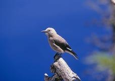 Uccello delle schiaccianoci del Clark Immagine Stock Libera da Diritti