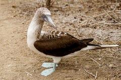 Uccello delle teste di legno pagato blu Immagini Stock