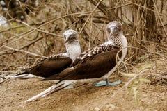 Uccello delle teste di legno pagato blu Fotografia Stock Libera da Diritti