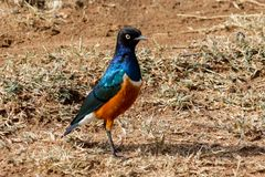 Uccello dello storno nella natura selvaggia Immagine Stock Libera da Diritti
