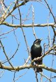 Uccello dello storno sul ramo di albero Fotografie Stock Libere da Diritti
