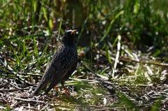 Uccello dello storno sulla terra Immagini Stock