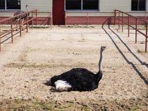 Uccello dello struzzo che luing nel recinto chiuso, granaio del fabbricato agricolo Agricoltura crescente Fotografie Stock