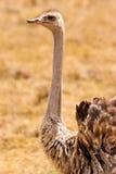 Uccello dello struzzo in primo piano Fotografia Stock