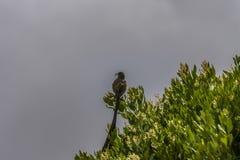Uccello dello zucchero del capo, cafer di Promerops, con il becco aperto, sedentesi sopra l'arbusto verde immagine stock libera da diritti