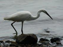 Uccello di acqua Immagini Stock Libere da Diritti