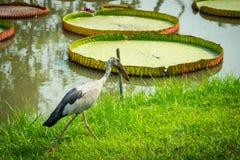 Uccello di acqua Fotografia Stock