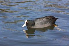 Uccello di acqua della folaga Immagini Stock