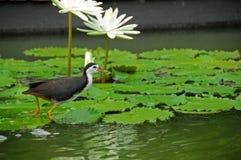 Uccello di acqua e giglio di acqua nello stagno Fotografie Stock Libere da Diritti