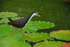 Uccello di acqua e giglio di acqua nello stagno Immagini Stock