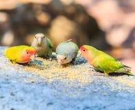Uccello di amore Fotografia Stock Libera da Diritti