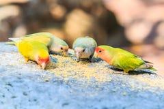 Uccello di amore Immagini Stock
