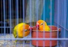 Uccello di amore Fotografie Stock Libere da Diritti