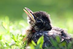 uccello di bambino Fotografia Stock Libera da Diritti