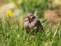 Uccello di bambino fotografie stock