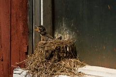 Uccello di bambino affamato nel suo nido, pettirosso americano, Ontario del sud Immagini Stock Libere da Diritti