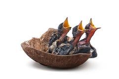 Uccello di bambino affamato in un nido fotografia stock libera da diritti
