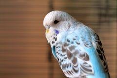 Uccello di bambino blu del budgie Immagini Stock