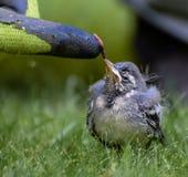 Uccello di bambino che si alimenta sulla vite senza fine fotografia stock
