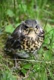 Uccello di bambino del cuculo immagine stock libera da diritti