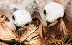 Uccello di bambino di due bianchi, alimento aspettante del giovane falco dalla madre, delicatamente Fotografie Stock Libere da Diritti