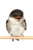 Uccello di bambino di uno swallow fotografia stock
